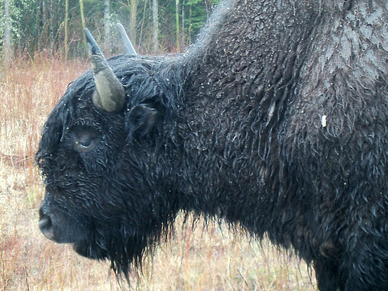 Canada has 250 buffalo, and they all seem to line the side of the highway.
