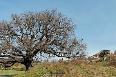 Un chêne magnifique à proximité de Murs