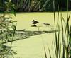 Tue 06-07-18 - Larkspur Landing - Ducks on a pond