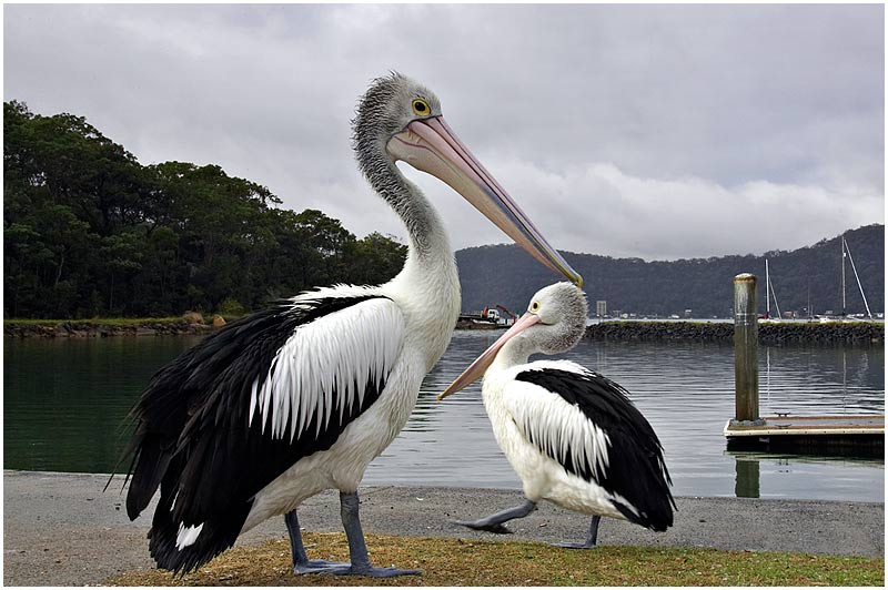 Hawkesbury River, Brooklyn, Tuesday July 4th 2006. <br /> <br /> Pelicans. <br />  <br /> <br /> EXIF DATA <br /> Canon 1D Mk II. EF 17-35 f/2.8L@17mm 1/100 f/22 ISO 250.