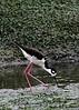 Fri 06-06-30 Black-necked Stilt