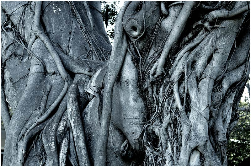The Domain, Monday June 19th 2006. <br /> <br /> This old Morton Bay Fig Tree looks like a character from a Brothers Grimm fairytale. <br /> <br /> <br /> EXIF DATA <br /> Canon 1D Mk II. EF 17-35 f/2.8L@35mm 1/80s f/4 ISO 400.