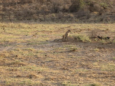 Cheetah in Samburu - Kimberly Collins