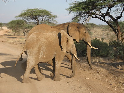 Elephants in Samburu - Kimberly Collins