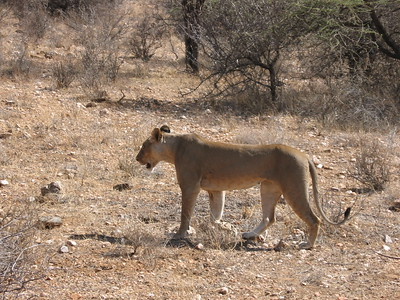 Lion in Samburu - Kimberly Collins