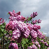 The Lilac Festival