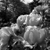 Large grayscale flowers