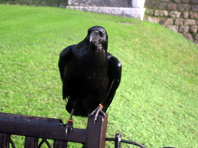 A raven outside the White Tower