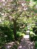 06-05-18 Filoli - Cherry Blossoms