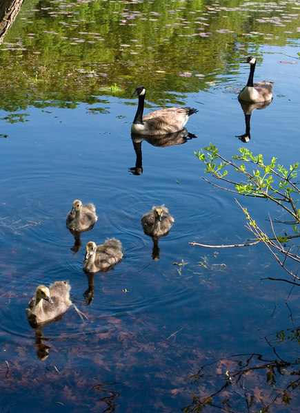 Geese and goslings on the pond.