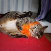 Kitty attacks her orange fluffy collar