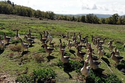 Les Oies de la Ferme St Hubert