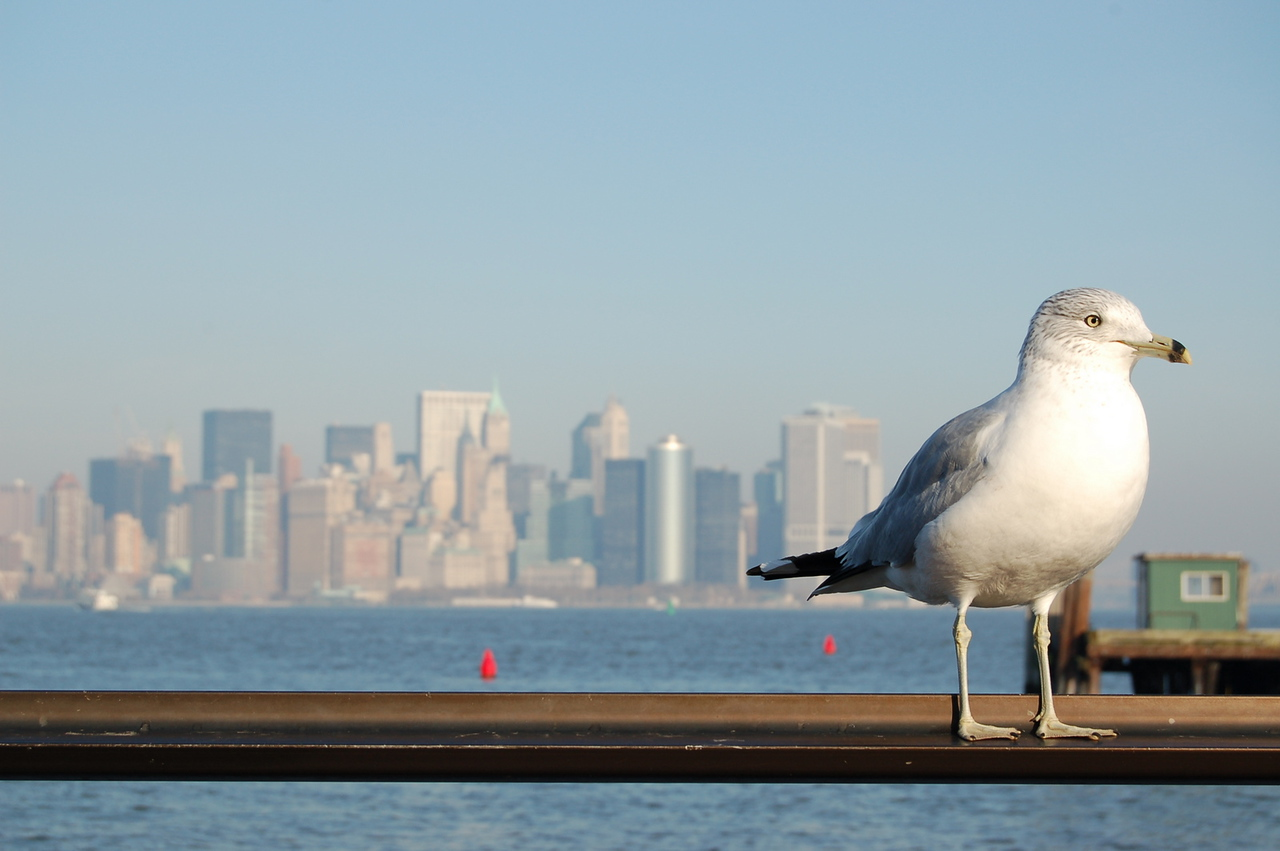 Manhattan Seagull