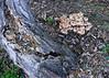 Sun 11-19-06 Mushrooms and Tree Trunk