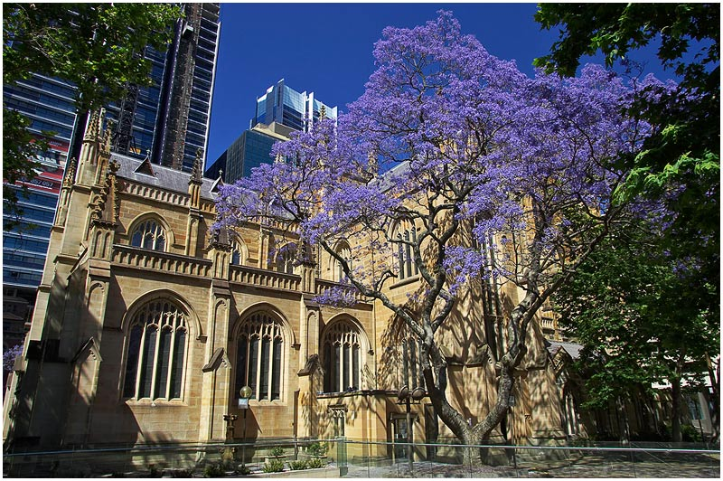 "George Street, Tuesday November 7th 2006. </strong> The north transept of Sydney's oldest cathedral, St. Andrews, with a jacaranda tree in full bloom. You can read about St. Andrew's history <a href=""http://en.wikipedia.org/wiki/St._Andrew's_Cathedral,_Sydney"" target=""_blank""><strong><em>here</em></strong></a>.    EXIF DATA  Canon 1D Mk II. EF 17-35 f/2.8L @20mm 1/80s f/9 ISO 200."