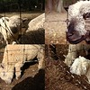 Crafty Sheep