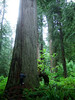 A tiny insignificant tree hugger dwarfed by the awesome forest around him.