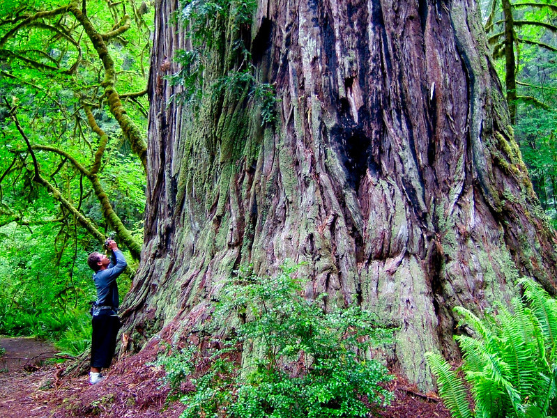 The giant redwoods are truly incredible, and worth visiting over and over again.  Here's Kelsey lining up for a shot.