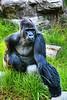 A silverback gorilla called Oscar Jonesy