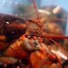 Lobster man