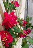 Roses climbing up to our second-story balcony.
