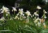 Pretty irises.