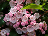 Mountain Laurel, which look like little umbrellas, ribs and all.
