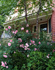 Back home again, our own pink roses in the foreground.