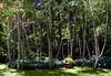 A birch grove.