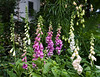 Foxgloves (Digitalis) in a friend's yard.