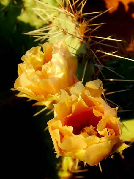 Prickly pear blooms all alone on the summit of Bell Tower.