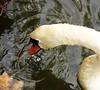 Sat 09-30-06 Montelena Swan