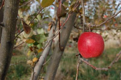 Apple Not Yet Fallen