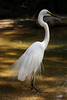 little egret.jpg