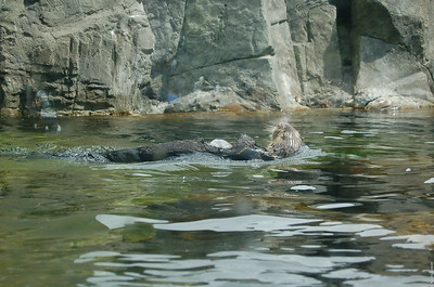 An otter swimming around appily