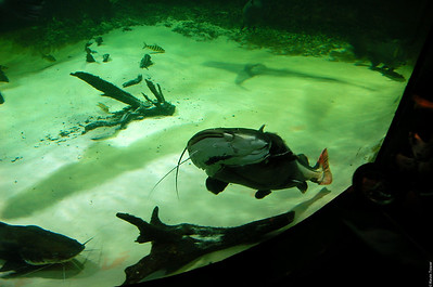 Big catfish at the Vancouver Aquarium.