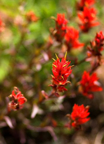 Scarlet paintbrush - incredibly vibrant.
