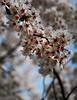 cherry blossom kyoto.jpg