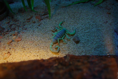 A scorpion under blacklight