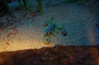 A scorpion under blacklight