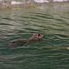 Beaver at Tierpark