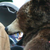 The bear greets an onlooker, and they have about the same expression on their faces