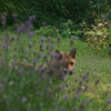 Caught this fox lurking in my backyard.    He was pretty skittish, so I only had time for a few shots.