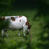 Cows graze in the orchard.