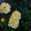 The yellow rose of. . . Switzerland?   That don't sound right, do it?