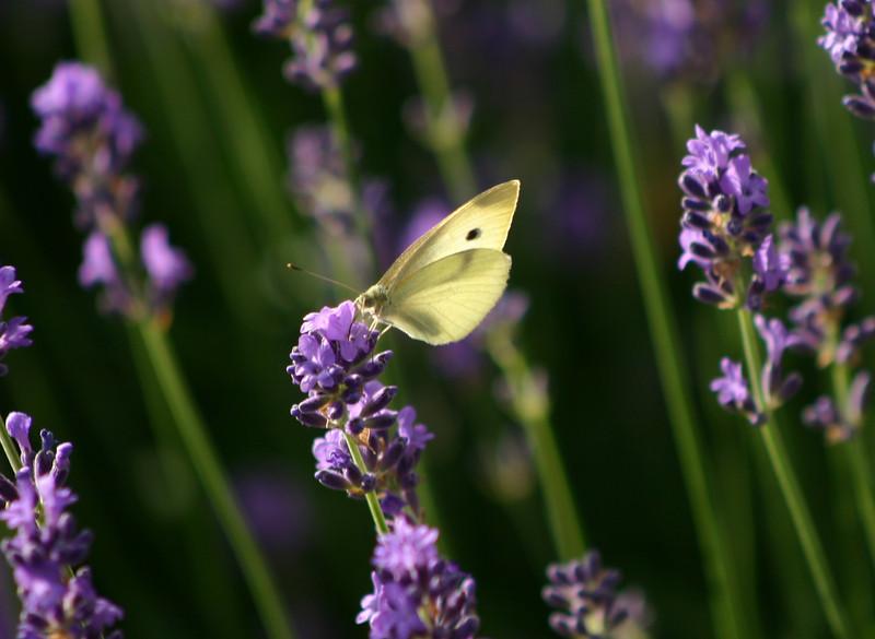 Lavender.  Yum.