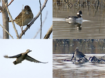 Yolo Bypass Birding Trip