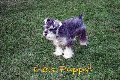 feis puppy