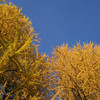 Tamaracks Against the Sky