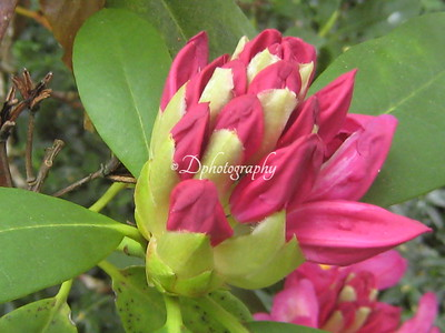 Rhododendron 050607